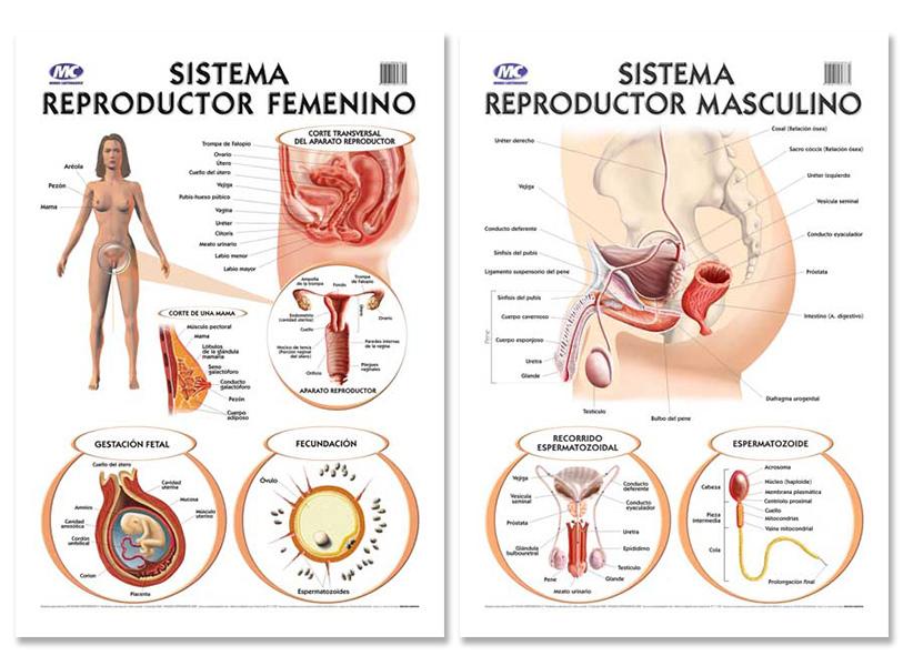 Moderno Anatomía De Vídeo Del Sistema Reproductor Femenino Viñeta ...