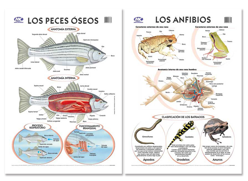 Único Anatomía Externa De Rana Modelo - Imágenes de Anatomía Humana ...